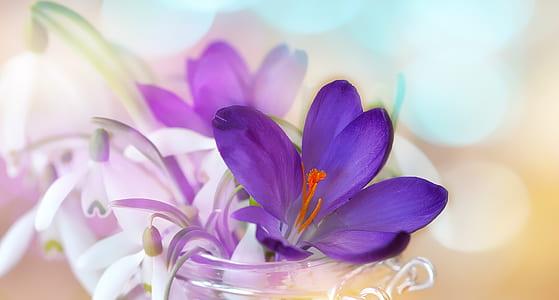 purple saffron crocus flower and white snowdrop flowers in clear glass vase