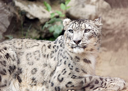 black and gray leopard