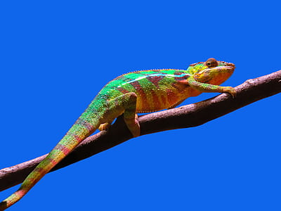 chamelion on wood branch
