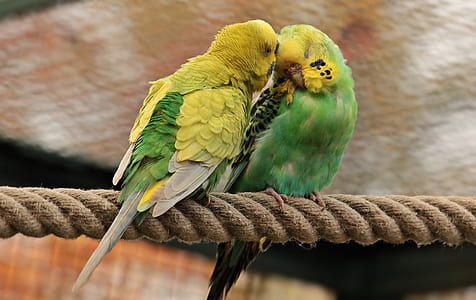 macro photography of two yellow-and-green parakeets