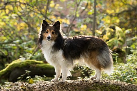 long-coated black, white, and tan dog on tree root