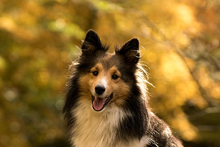 shallow focus photography of adult brown and black rough collie