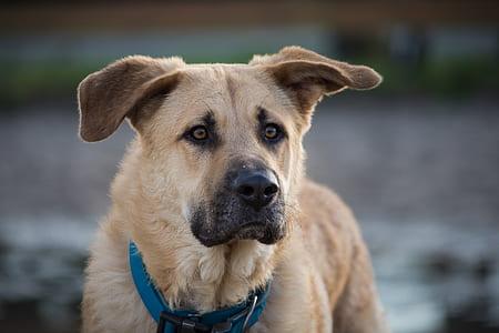 adult orange chinook dog