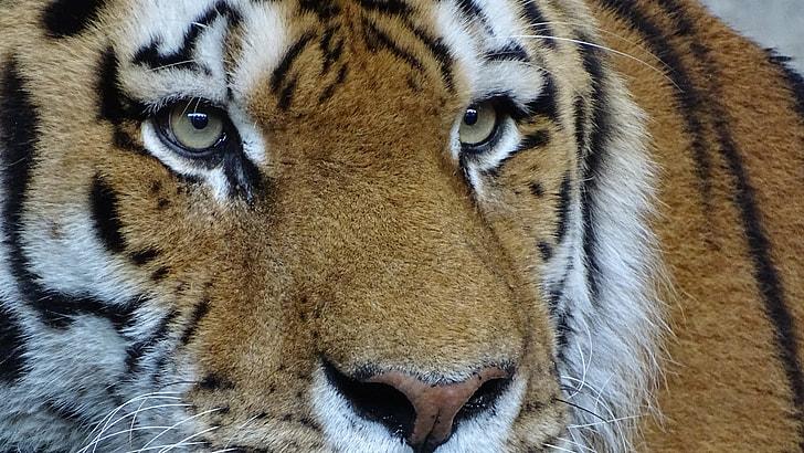 close up photo of tiger face