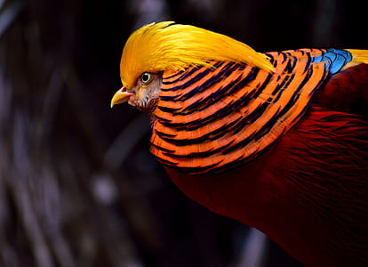 selective focus photography of golden pheasant