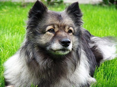 adult Keeshond prone lying on grass field at daytime