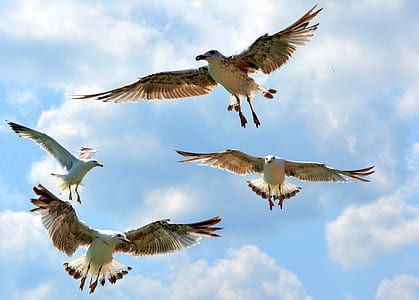 four Franklin's gulls flying under blue sky during daytime