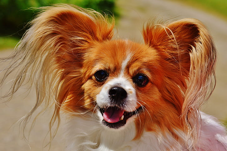 adult adult tan and white papillon