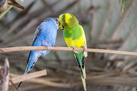two blue and green budgerigar on tree during daytime