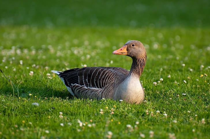 black duck on green grassfield