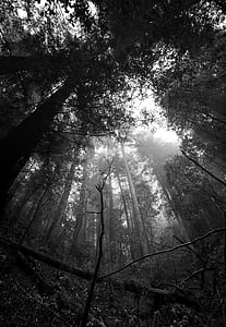 greyscale photo of tall trees