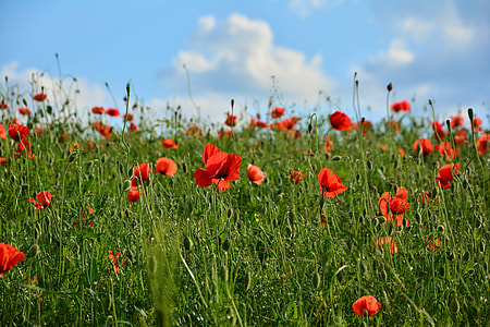 bed of poppy flowers