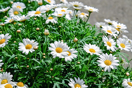 depth of field photograph of white daisy flowers