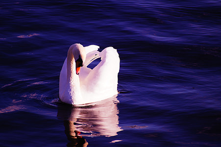 swan on calm body of water
