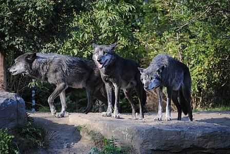 three black wolfs near trees
