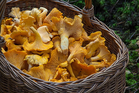 closeup photo basket of yellow fungi