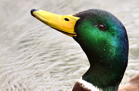 mallar duck head