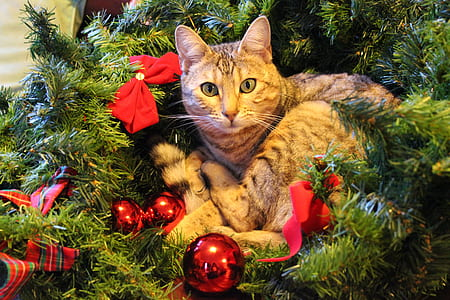 brown Tabby cat on green Christmas tree