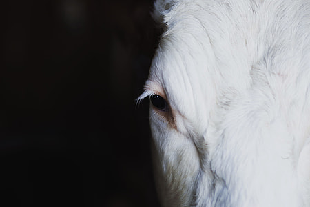 closeup photography of white goats face