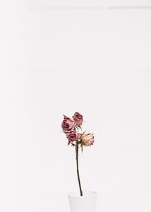 pink roses in white ceramic vase
