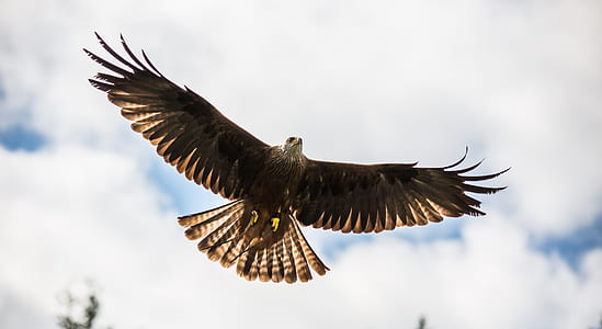 photo of black American eagle flying