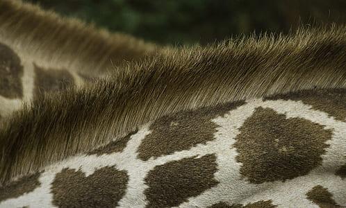 giraffe, pattern, fur, wildlife, mane, hair