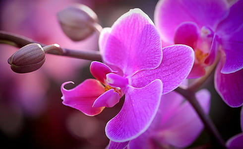 pink moth orchids in bloom close up photo
