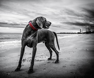 greyscale photo of dog on seashore