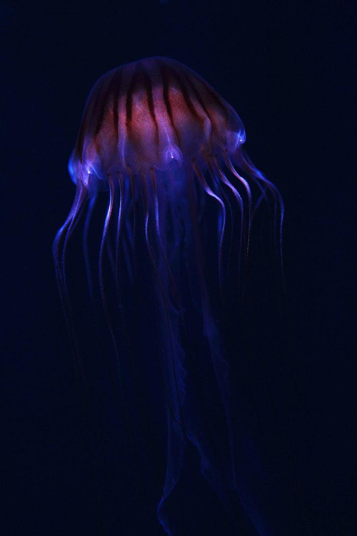 blue and maroon jelly fish digital wallpaper