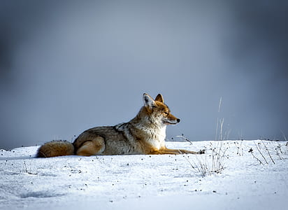 fox sitting on snows