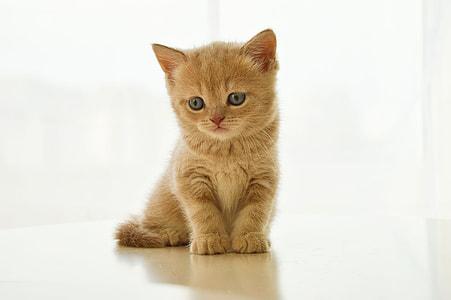 orange Persian kitten