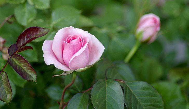 pink rose during daytime