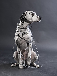 adult white and black dalmatian in barbed wires